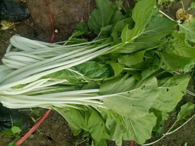 湖北武汉高梗白菜 1斤以下 净菜