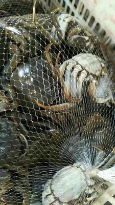湖北荆州洪湖螃蟹 2.0-2.5两 统货