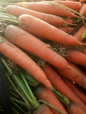 山东德州三红胡萝卜 10~15cm 2两以上 3cm以下