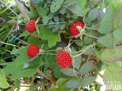 广西钦州野生草莓 地栽苗 40~50公分