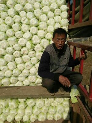 河南商丘87-114白菜 6~10斤 净菜