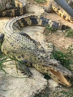 广西河池暹罗鳄