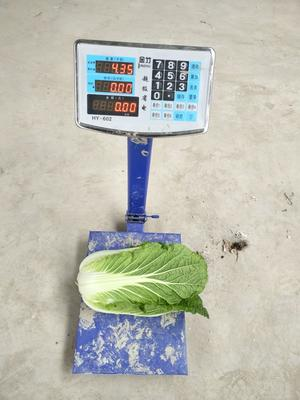 湖北荆门黄心大白菜 3~6斤 净菜