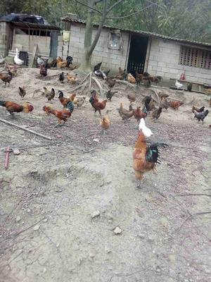 云南昆明纯粮土鸡 3-4斤