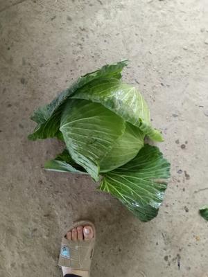 重庆潼南县铁头圆包菜 4~5斤