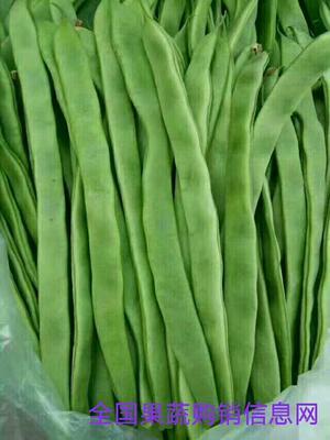 山东聊城绿扁豆 3cm以上 15cm以上