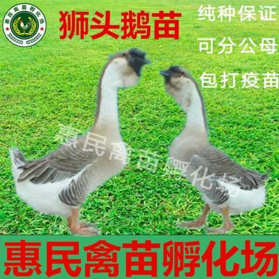 广西南宁狮头鹅苗 广东汕头狮头鹅
