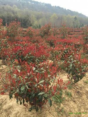 安徽滁州红叶石楠球