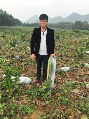 广西壮族自治区贵港市覃塘区白皮冬瓜 15斤以上 白霜