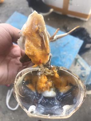 这是一张关于洪湖大闸蟹 2.5-3.0两 公蟹的产品图片