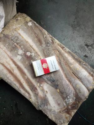 山东威海荣成市淡水银鳕鱼 野生