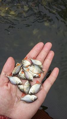 广东江门红鲳鱼 人工养殖 0.5公斤以下