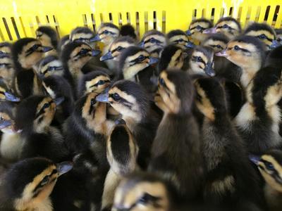 这是一张关于麻鸭苗的产品图片