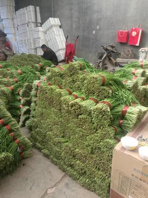 山东省潍坊市寿光市紫根红韭菜 头茬 35~40cm