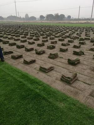 这是一张关于冷季性草坪的产品图片
