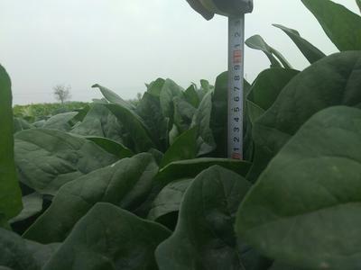 河北邯郸大叶菠菜 20~25cm
