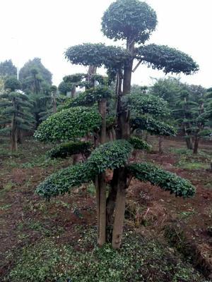湖南长沙浏阳市小叶女贞造型树