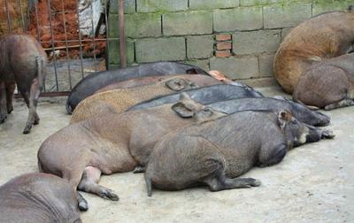 四川内江生态野猪 20-30斤 统货