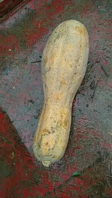 湖北襄樊蜜本南瓜 5.0斤 长条形