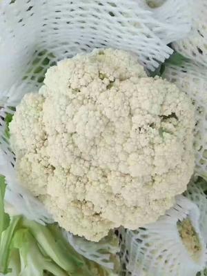 河南开封白面青梗松花菜 适中 2~3斤 乳白