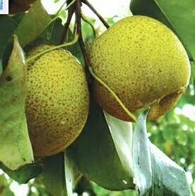 这是一张关于黄梨 350-400g 85mm以上的产品图片