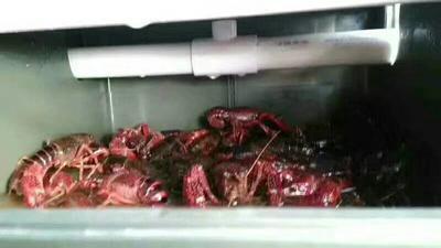 这是一张关于克氏原螯虾 人工殖养 7-9钱的产品图片
