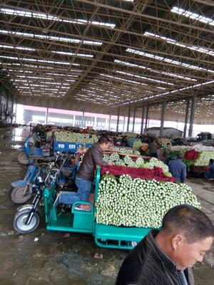 河北省邯郸市永年县皇妃芹菜 40cm以下 大棚种植 0.5斤以下
