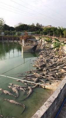 广西柳州暹罗鳄