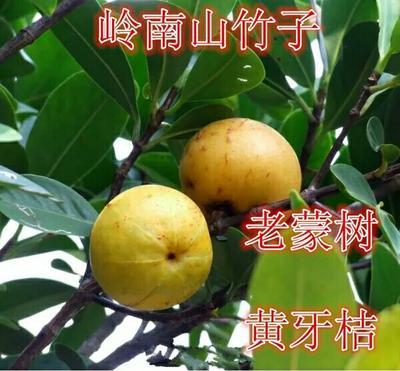 广西壮族自治区钦州市灵山县山竹树苗