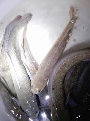 广西壮族自治区玉林市陆川县月鳢 人工养殖 1-1.5公斤