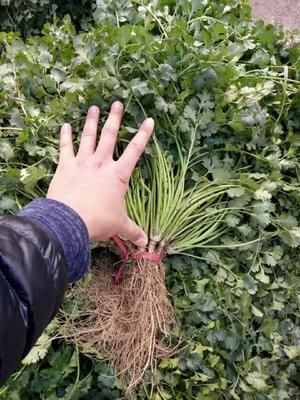 山东省潍坊市安丘市小叶香菜 35cm以上