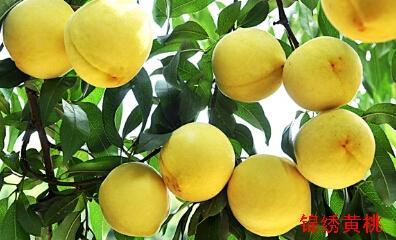 这是一张关于锦绣黄桃苗 1~1.5米的产品图片
