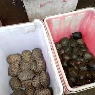 湖南邵阳巴西龟 20-30cm 1-1.5斤