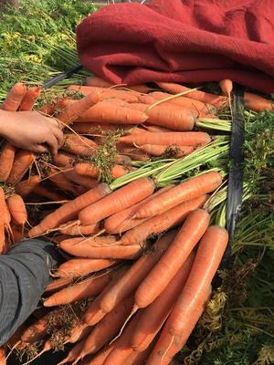 河南开封三红胡萝卜 15cm以上 2两以上 4~5cm