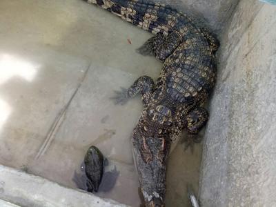 贵州安顺中国鳄