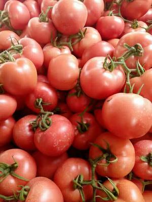 山东临沂费县硬粉番茄 硬粉 弧三以上 不打冷