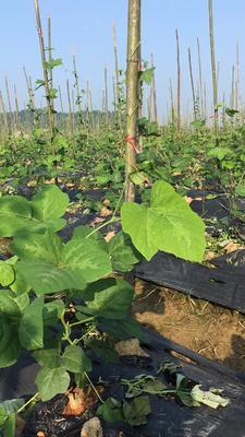 湖南长沙人工种植葛根 3.0-3.5斤