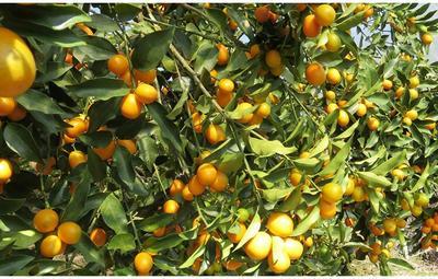 这是一张关于脆蜜金桔 3-4cm 1-1.5两的产品图片