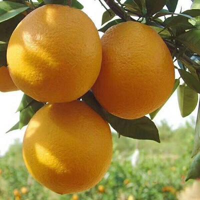 湖北宜昌脐橙 70-75mm 4-8两