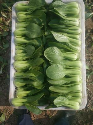 山东菏泽北方小油菜 1~2两