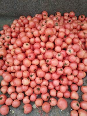 山东临沂大红西红柿 不打冷 大红 弧三以上