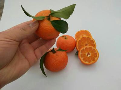 这是一张关于沙糖桔 4 - 4.5cm 1 - 1.5两 的产品图片