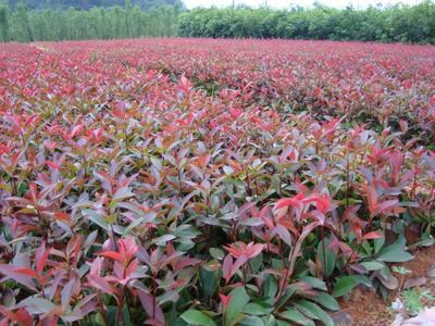 湖南益阳红叶石楠