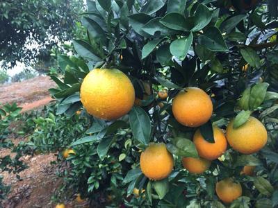 广西桂林纽荷尔脐橙 65 - 70mm 4-8两