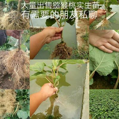 四川雅安名山区猕猴桃实生苗 实生苗
