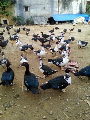 这是一张关于番鸭 统货 7-8斤的产品图片