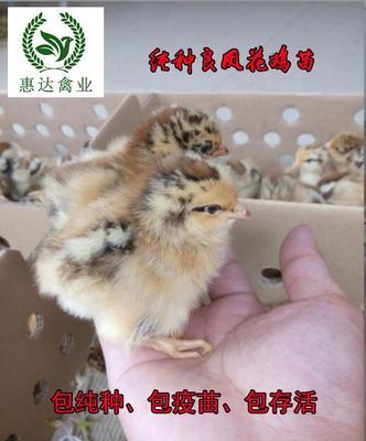 这是一张关于良凤花鸡苗的产品图片