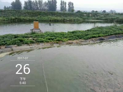 河南洛阳花白鲢 人工养殖 0.5-2.5公斤
