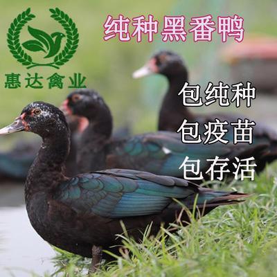 这是一张关于黑番鸭苗的产品图片