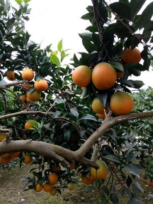 这是一张关于脐橙 65 - 70mm 4-8两的产品图片